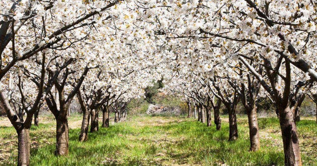Viajar a los cerezos en flor